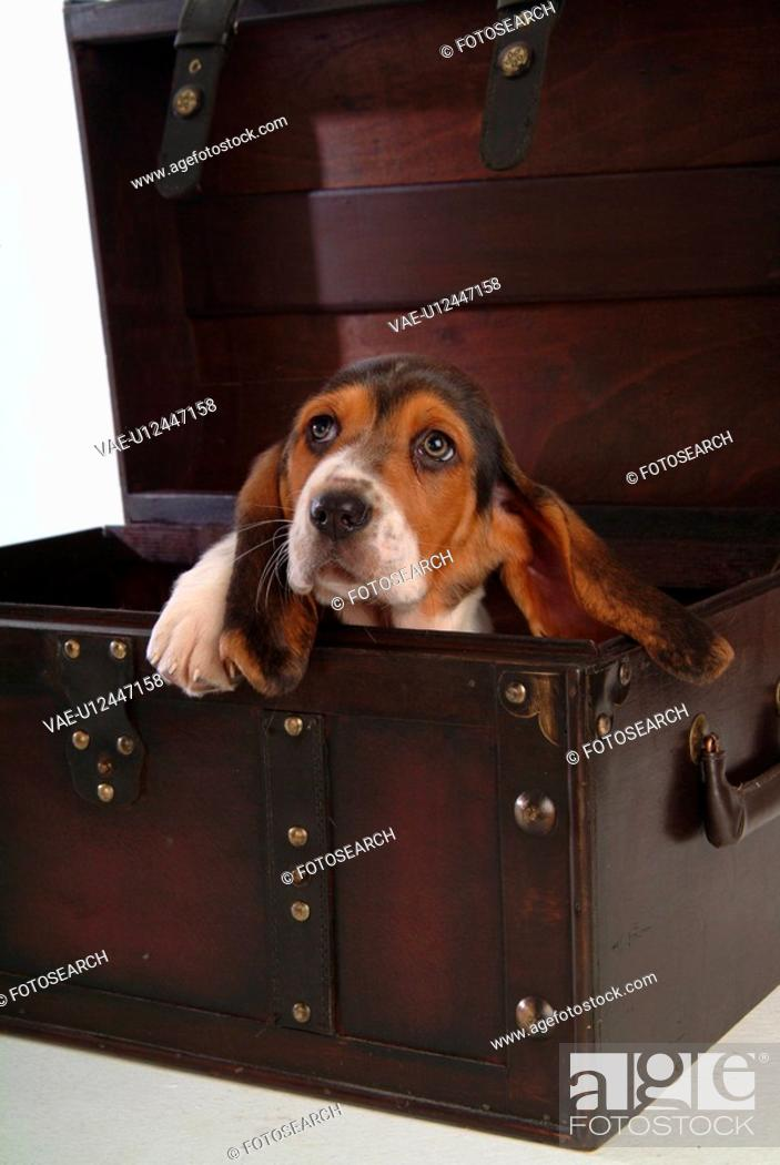 Stock Photo: faithful, domestic animal, companion, canine, close up, basset hound.