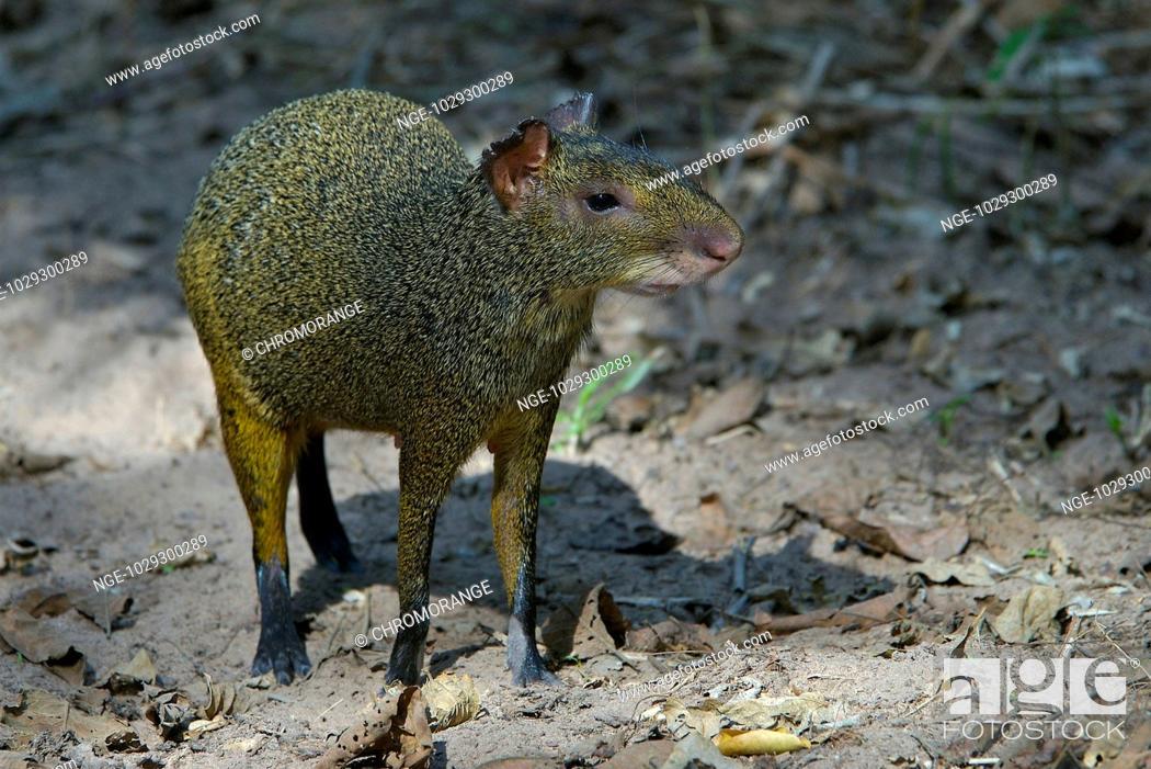 Imagen: Central American Agouti, Dasyprocta agouti, Pantanal, Brazil.