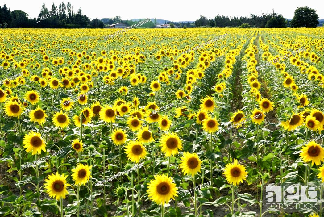 Stock Photo: Sunflower field. Photographed in Provence, France.