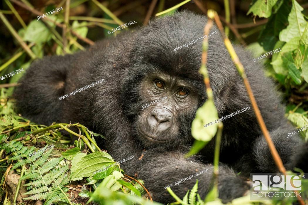 Stock Photo: Mountain gorilla, Bwindi Impenetrable National Park, Uganda, Africa.