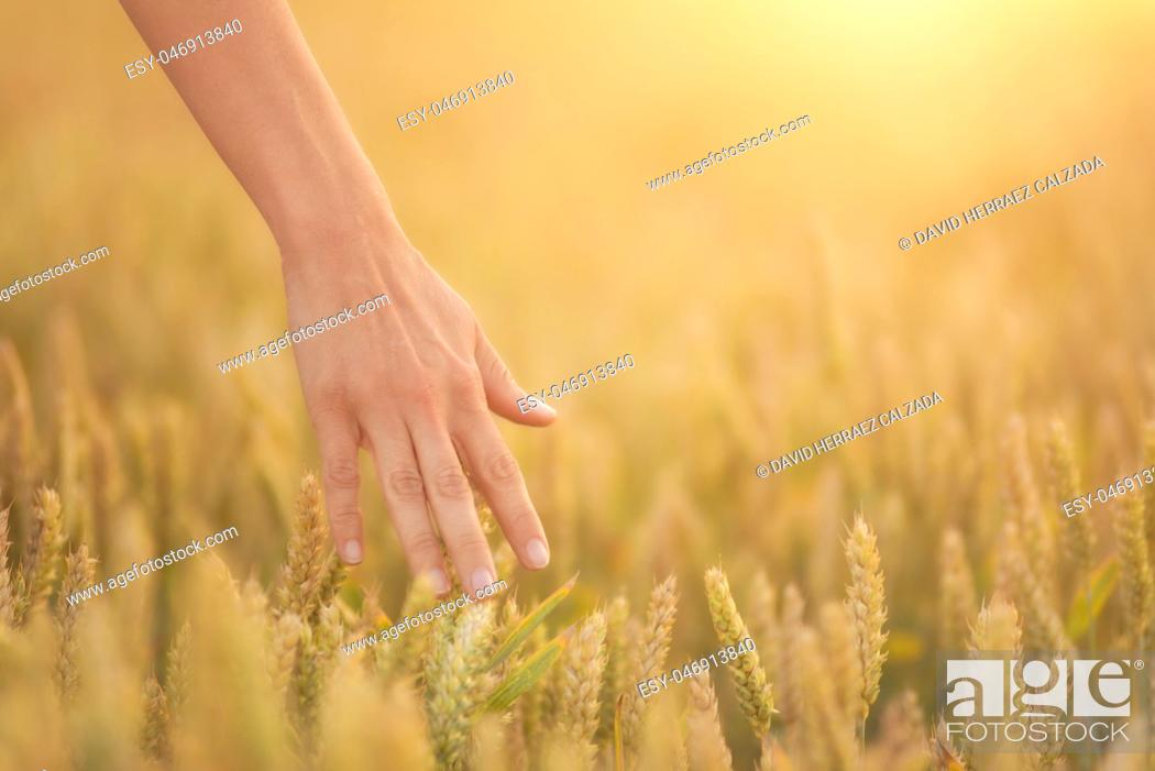 Stock Photo: Female hand touching a golden wheat ear in the wheat field, sunset light, flare light.