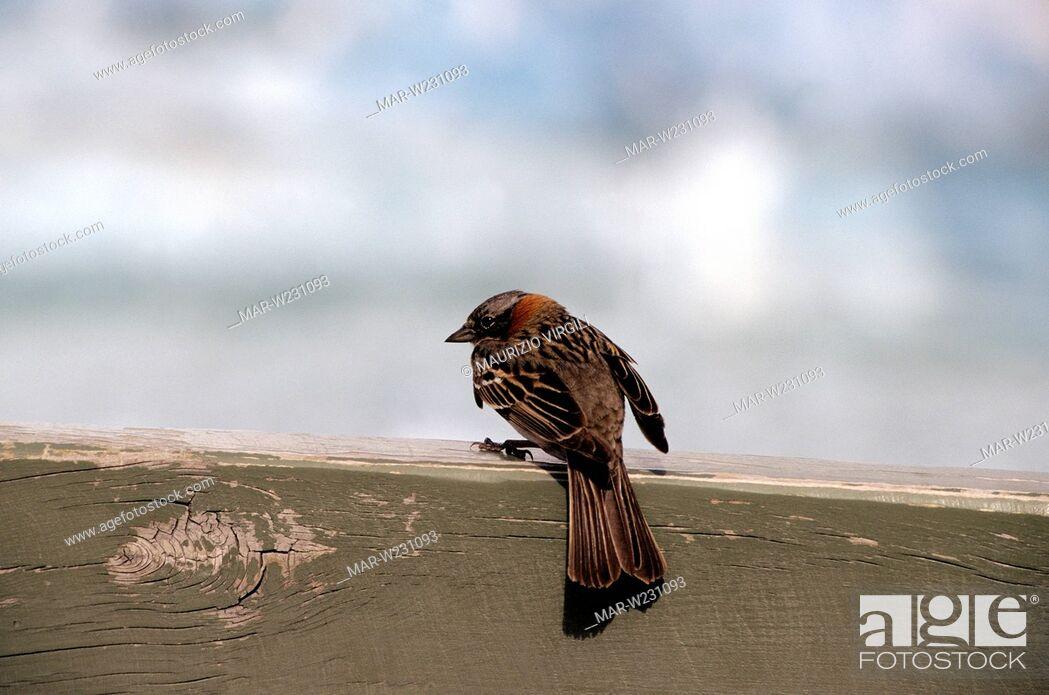 Stock Photo: passero.