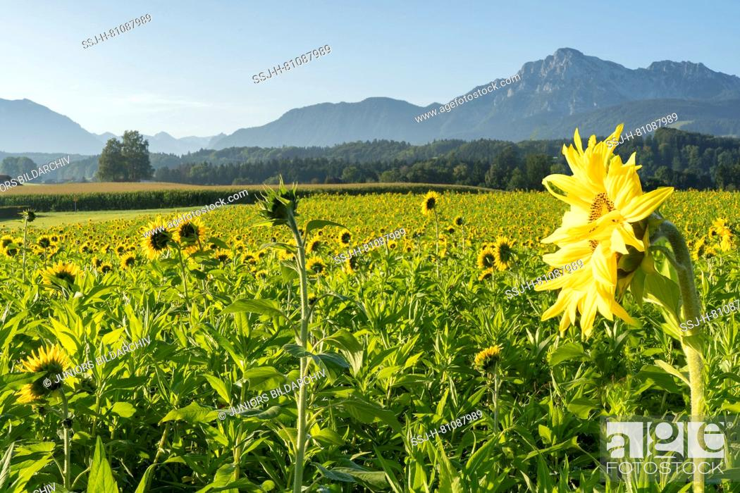 Stock Photo: Sunflower field with the mountains Hochstaufen and Zwiesel in the background. Upper Bavaria, Germany.