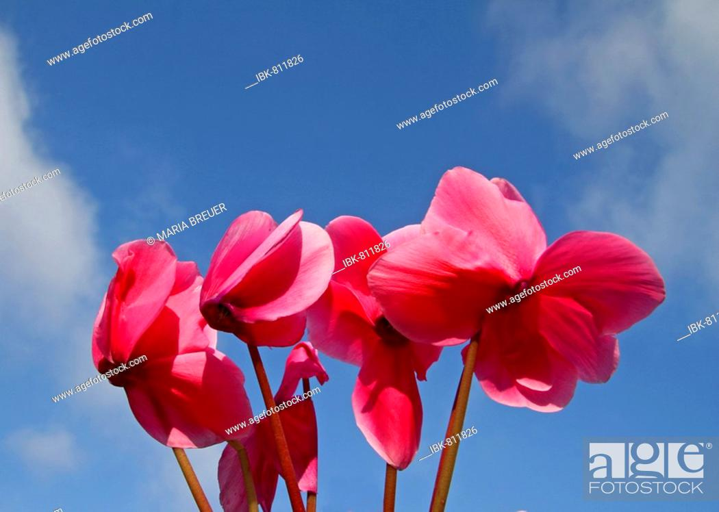 Stock Photo: Cyclamen (Cyclamen), Myrsinaceae family.