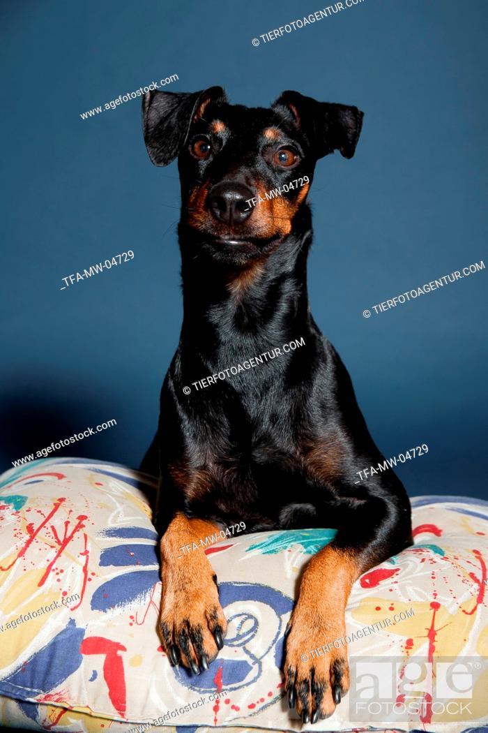 Stock Photo: lying Manchester Terrier.