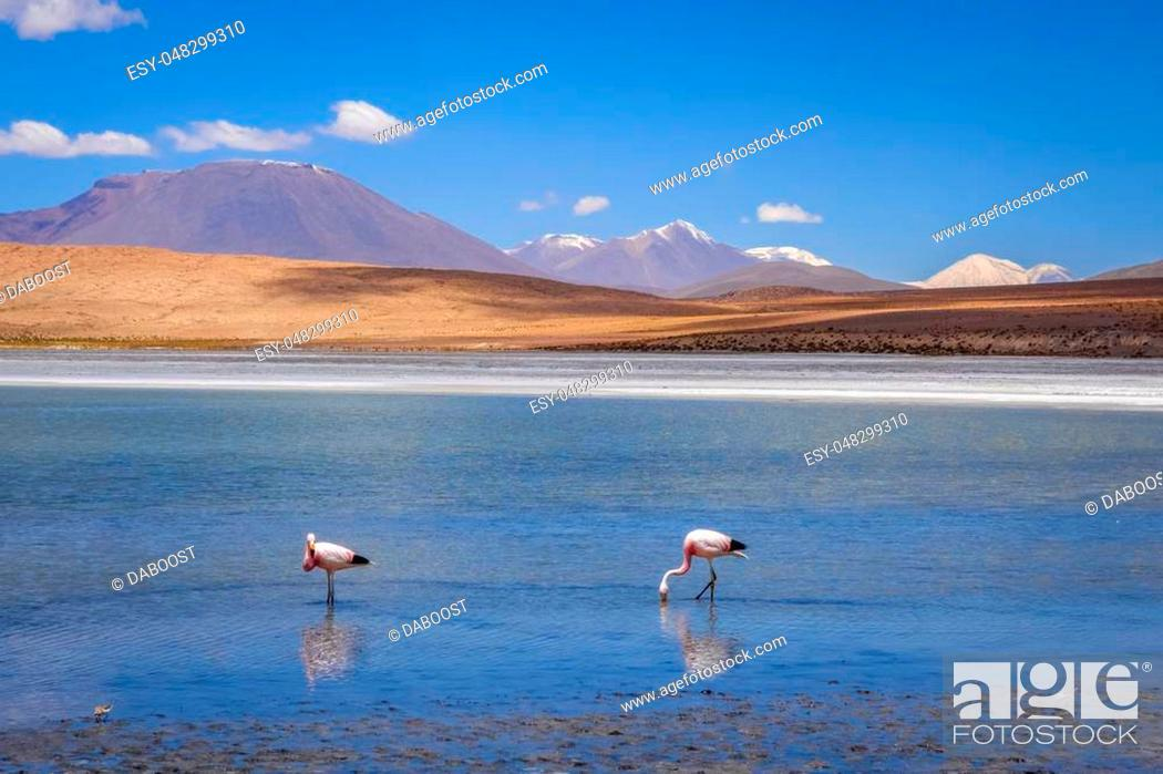 Imagen: Pink flamingos in altiplano laguna, sud Lipez reserva Eduardo Avaroa, Bolivia.