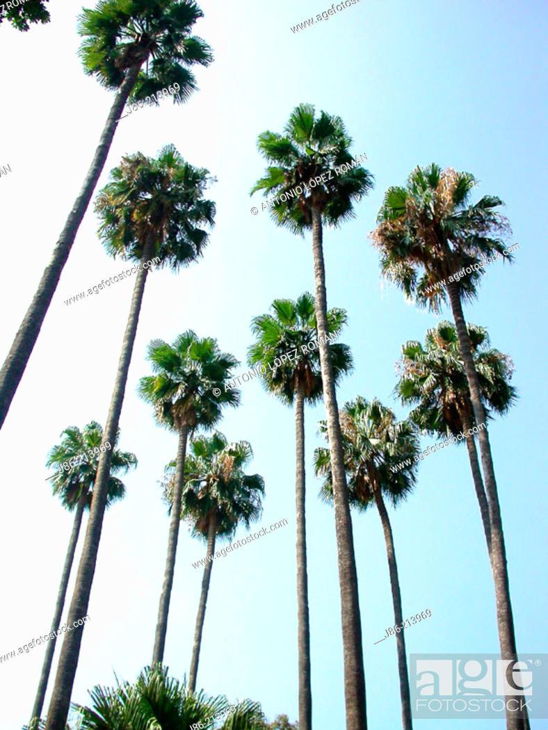 Stock Photo: Palm trees (Washingtonia filifera).