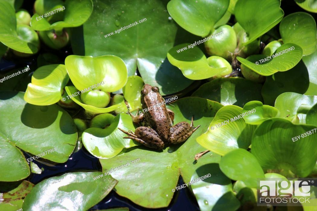 Stock Photo: Close up of an American Bullfrog, Lithobates catesbeianus, sitting on a lily pad.