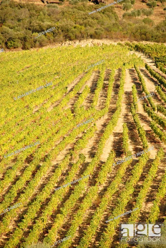 Stock Photo: Grape Vines, Fields at the Symington States in Pinhao,  Duoro Valley, Duoro, Portugal.