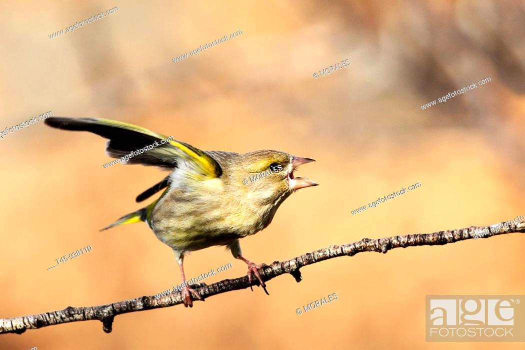 Stock Photo: European Greenfinch (Carduelis chloris) in winter, Vaucluse, France.