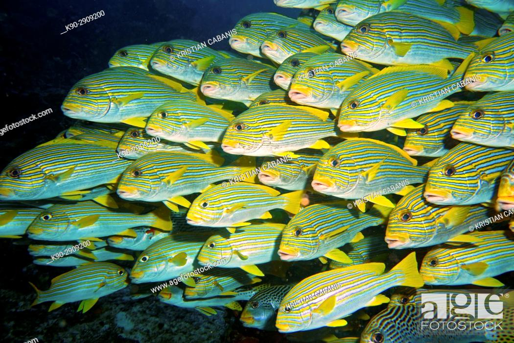Stock Photo: Huge school of Yellow Sweetlips, or Ribboned Sweetlips (Plectorhinchus polytaenia), Raja Ampat, Papua Barat, Papua, Pacific, Indonesia, Southeast Asia.