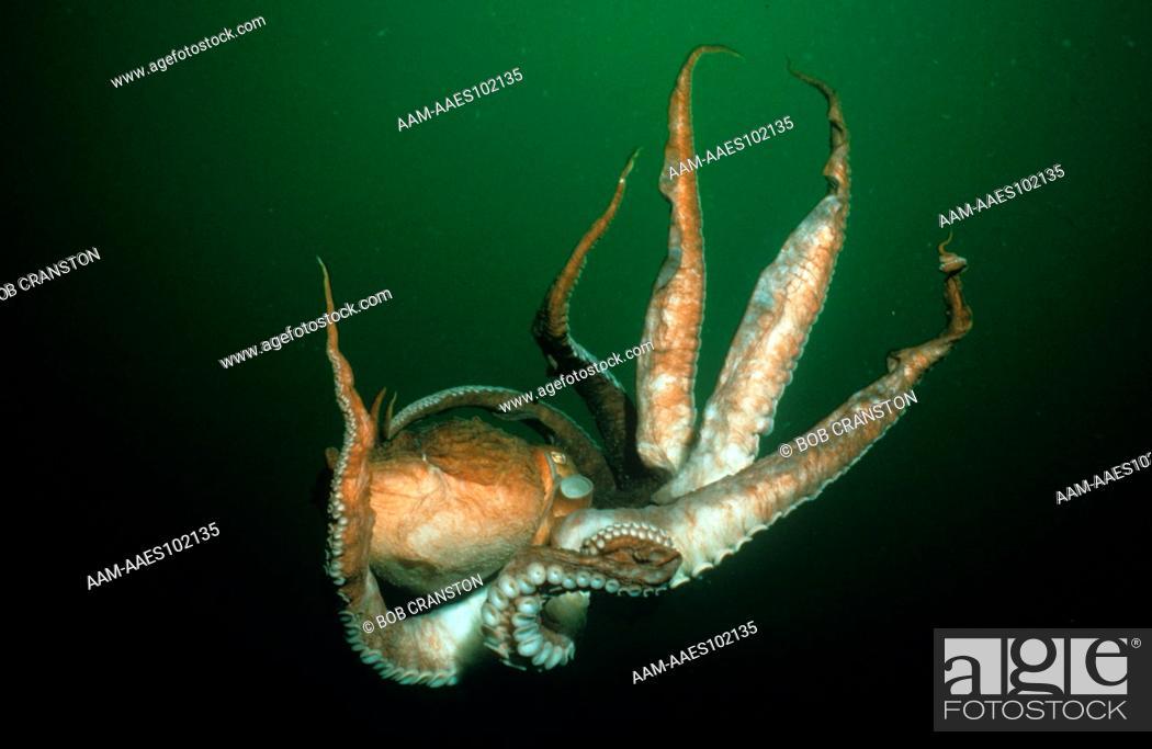 Giant Pacific Octopus adrift in Pacific Ocean (Octopus dofleini ...