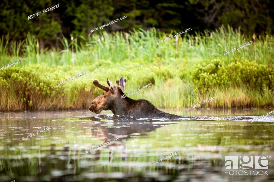 Stock Photo: A Young Male Moose Swims To The Lake Shore In Northern Maine.