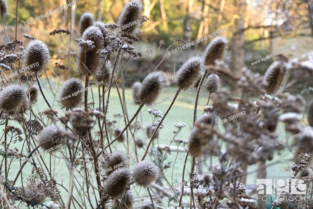 Stock Photo: Early morning frost and Spring sunshine on dried teasels and foliage in a communal garden, Bristol, England.