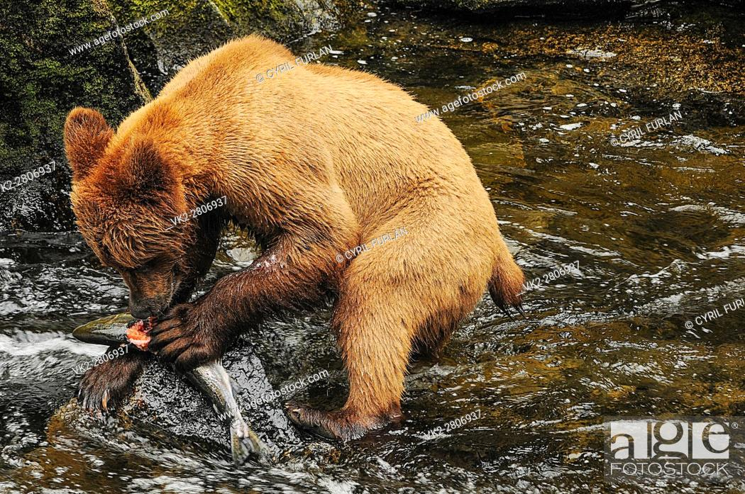 Stock Photo: Young Grizzly Eating Salmon Anon Bear Preserve Wrangell Alaska.