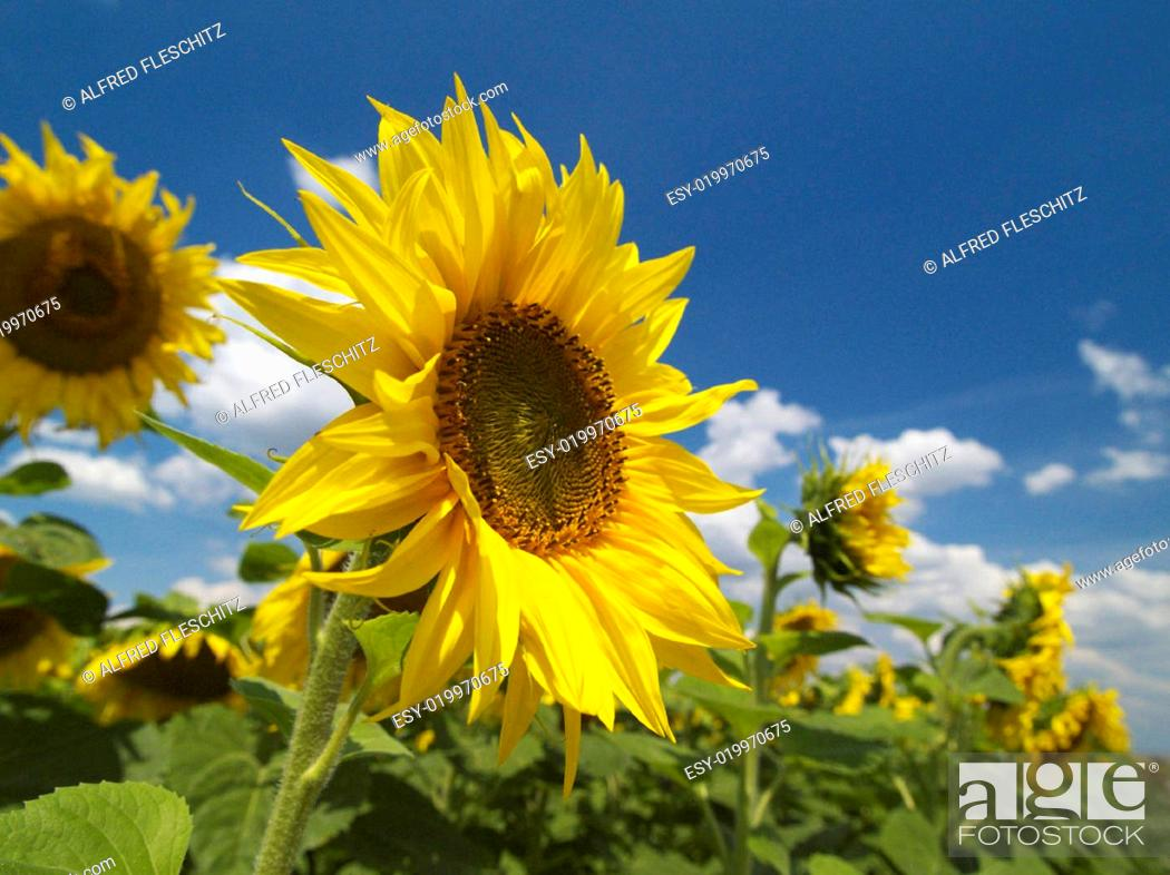 Stock Photo: Sonnenblumen 008.
