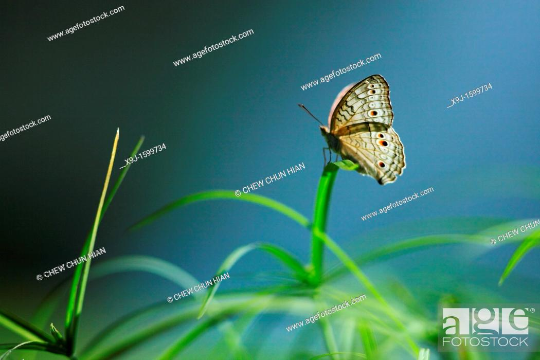 Stock Photo: Butterfly, Junonia atlites, Borneo, Asia.