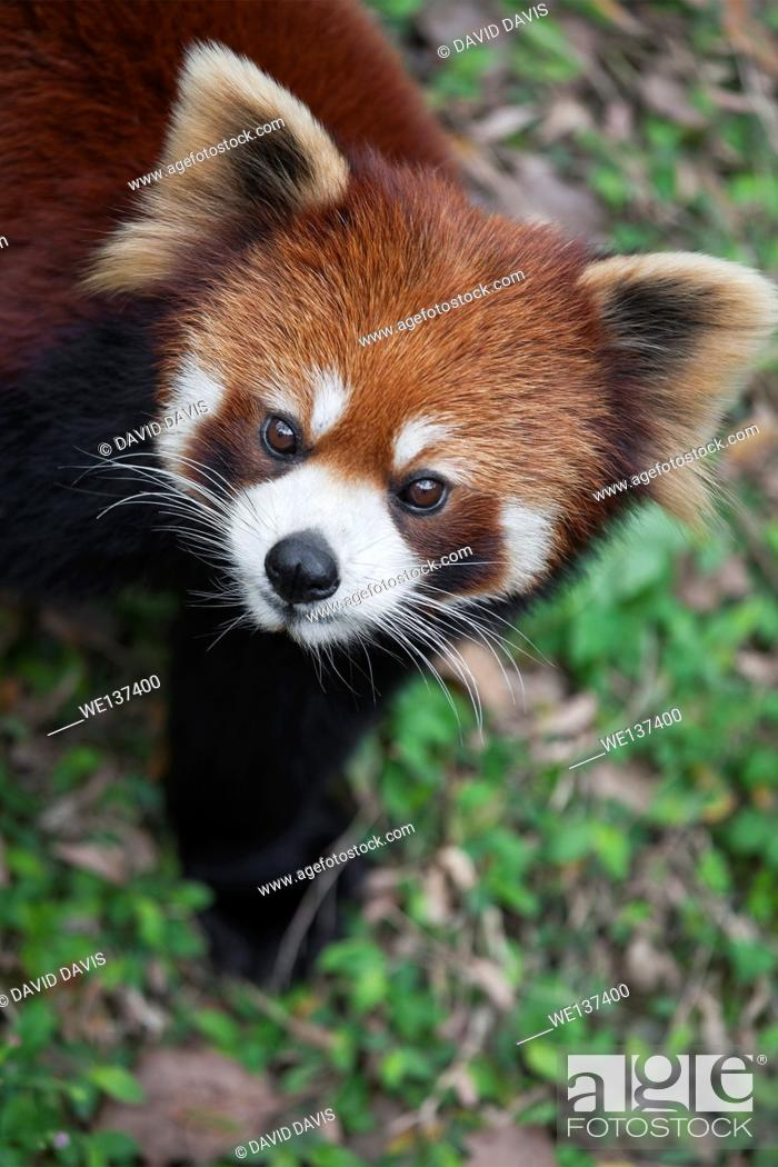 Stock Photo: The red panda Ailurus fulgens, also known as Lesser Panda and Red Cat-Bear, is a small arboreal mammal native to the eastern Himalayas and south-western China.
