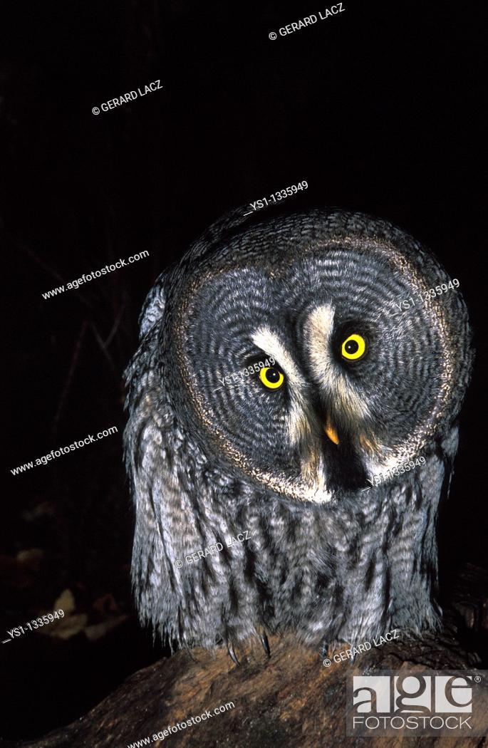 Stock Photo: GREAT GREY OWL strix nebulosa, ADULT, CANADA.