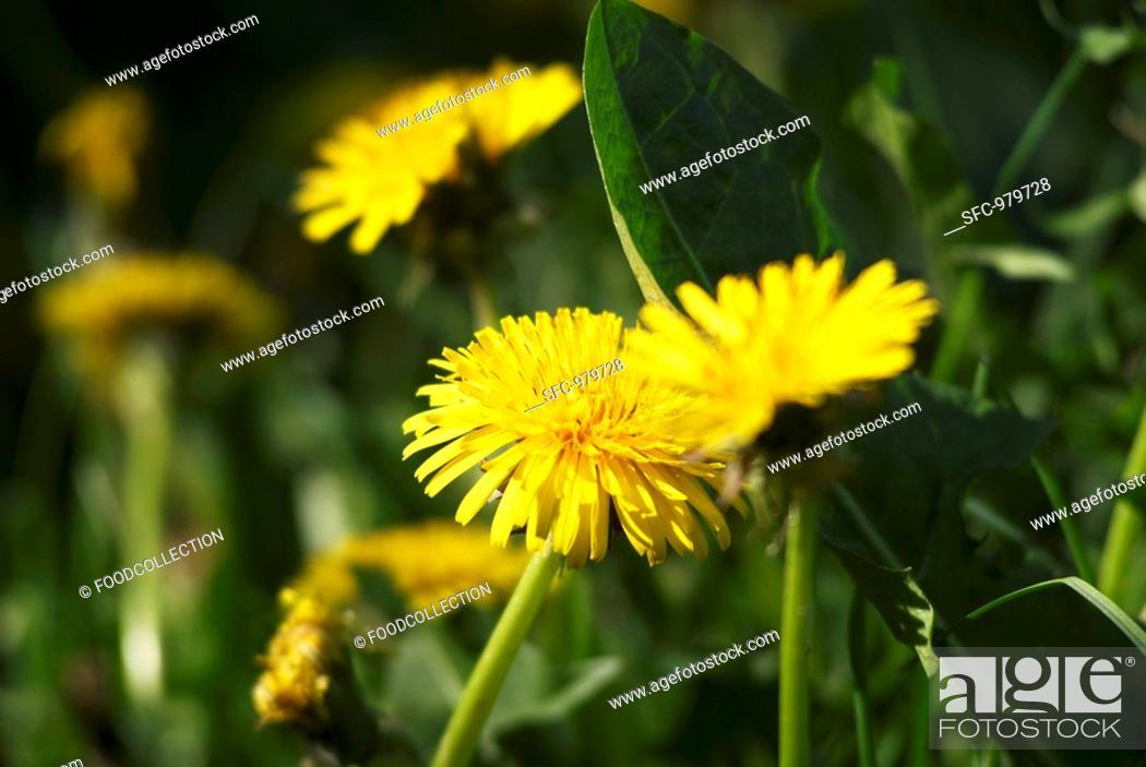 Stock Photo: Dandelion flowers.