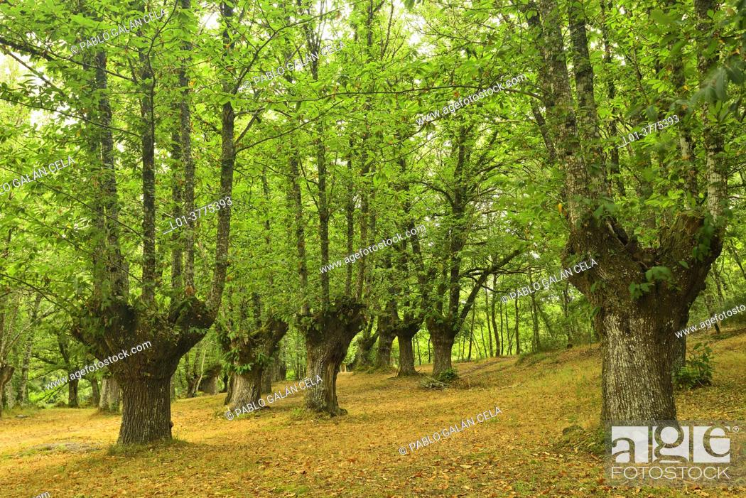 Stock Photo: Cultivated chestnuts. Galicia (Spain).