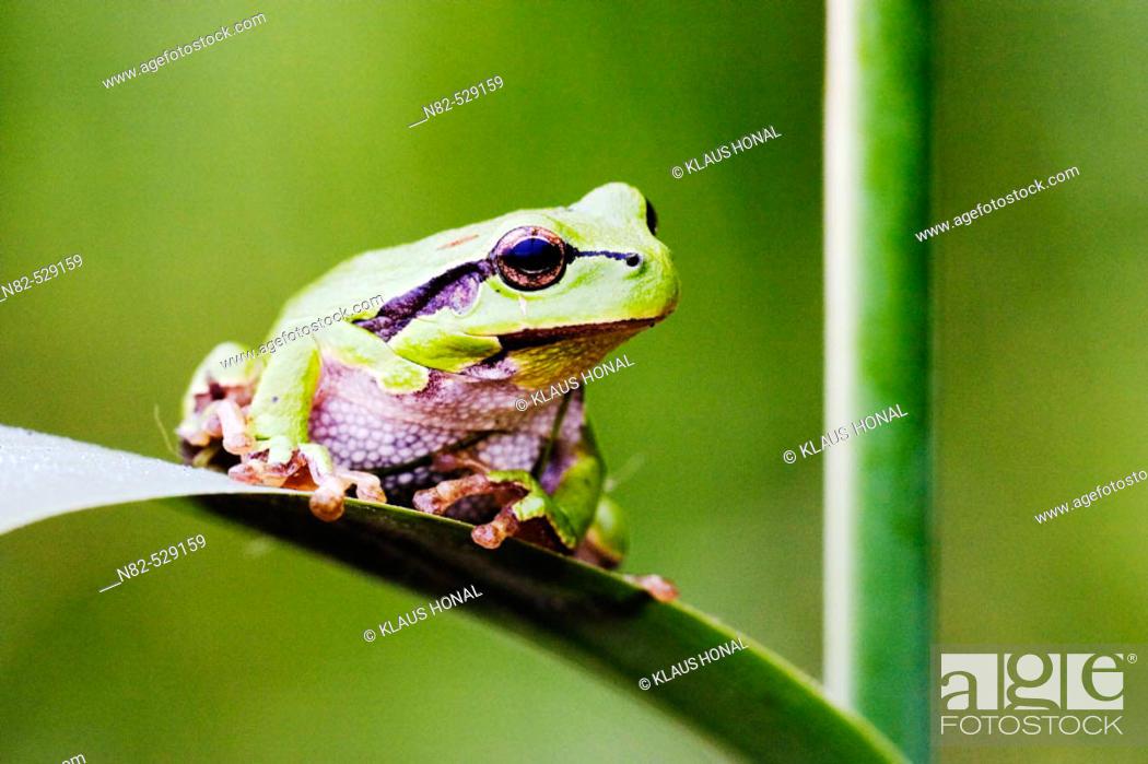 Stock Photo: Common Tree Frog (Hyla arborea) on reed leaf in profuse vegetation.