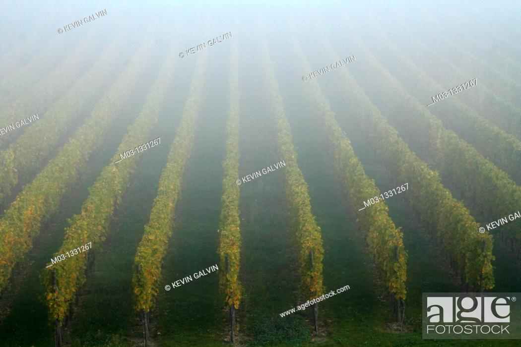 Stock Photo: Alsace wine route town Riquewihr France vineyard harvest grapes.