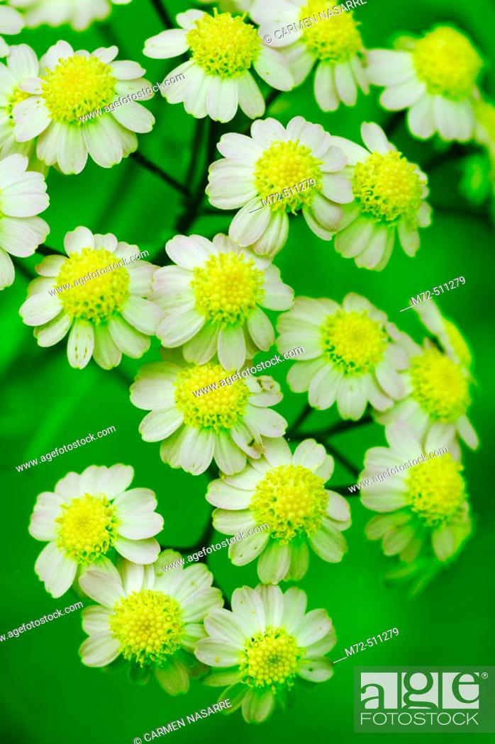 Stock Photo: Flowers (Pericallis sp.). El Hierro, Canary islands, Spain.