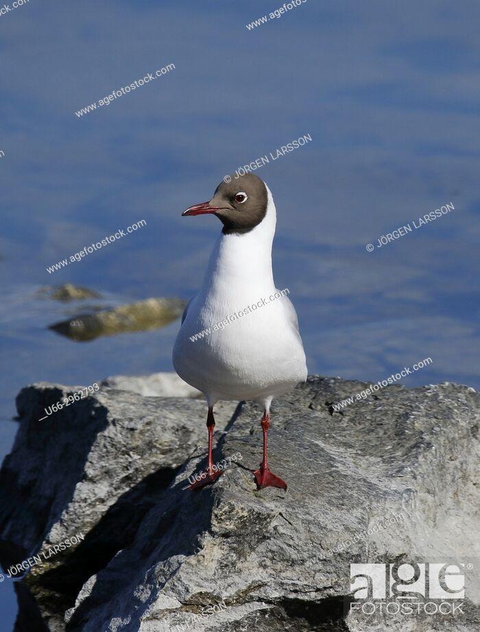Imagen: Black-Headed Gull, Stockholm, Sweden.