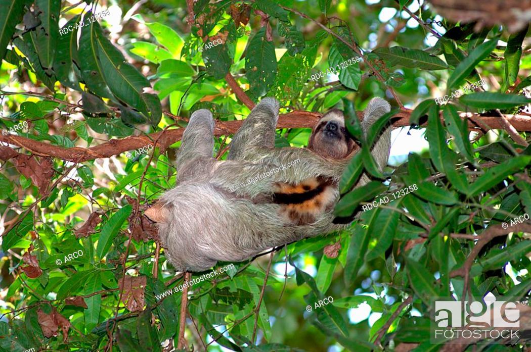 Brown Throated Three Toed Sloth National Park Manuel Antonio Costa