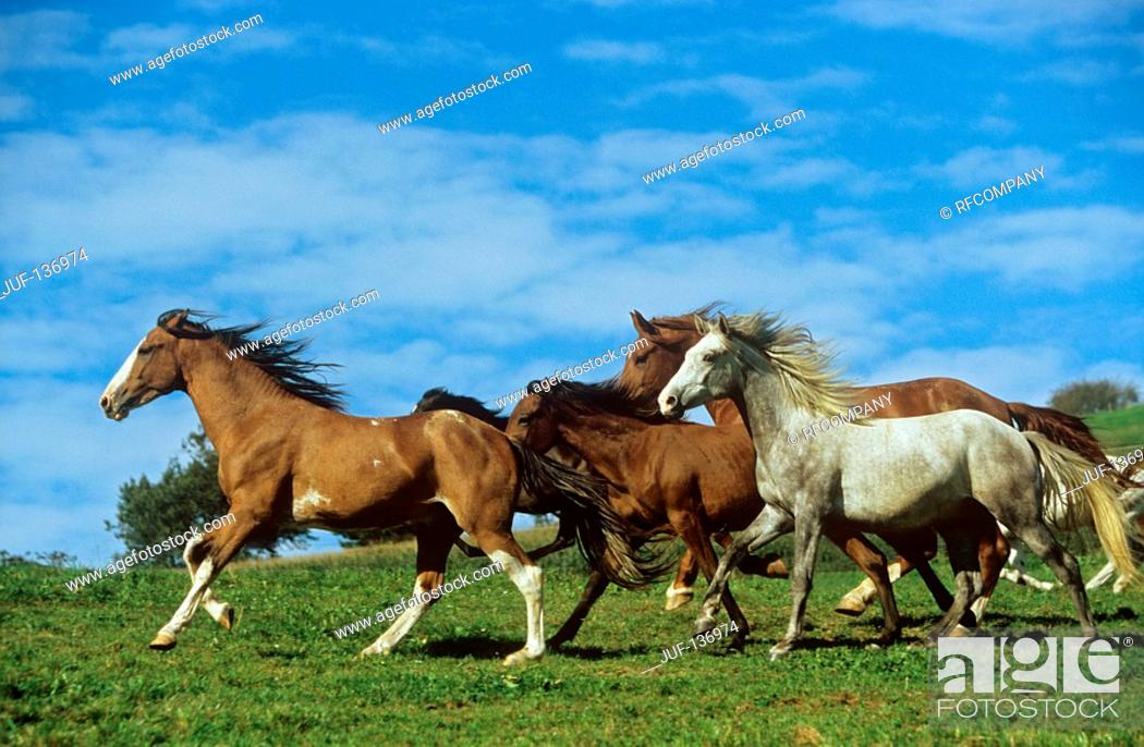 Stock Photo: horses - running on meadow.