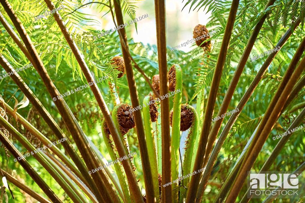 Stock Photo: Landscape, rainforest, tree fern (Dicksonia antarctica), Dandenong Ranges National Park, Melbourne, Victoria, Australia, Oceania.