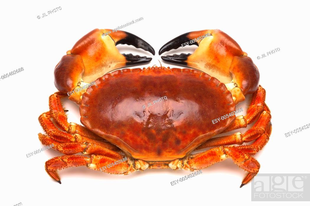 Stock Photo: Cooked edible crab Cancer pagurus.
