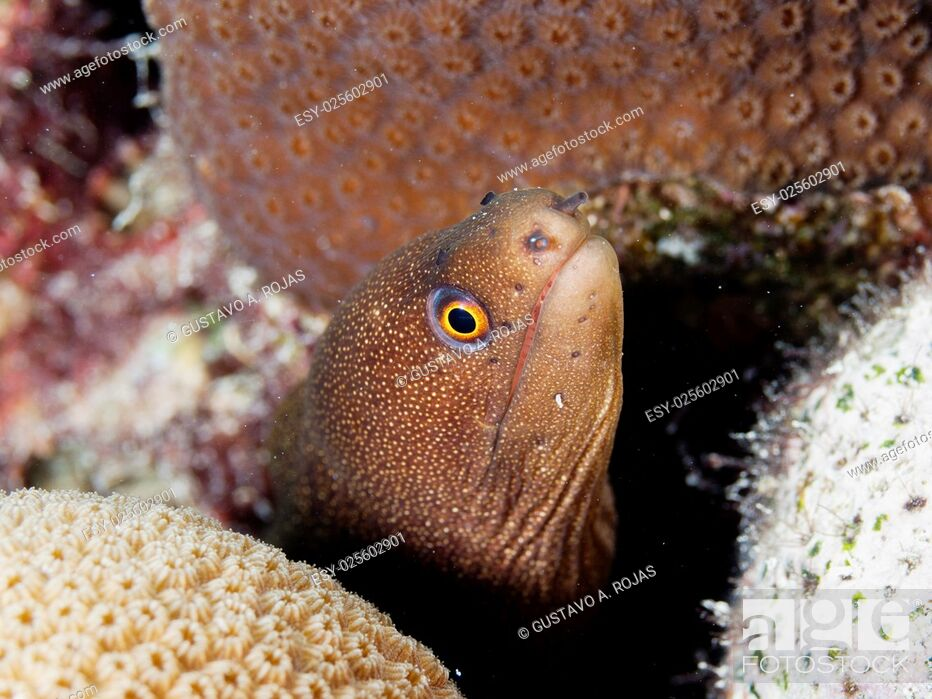 Stock Photo: Goldentail Moray, (Gymnothorax miliaris), resting on stone coral.