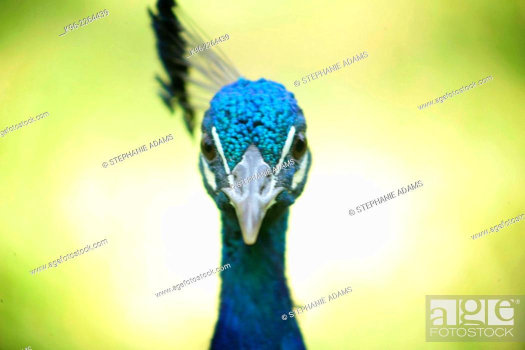 Photo de stock: blue peacock looking at camera.