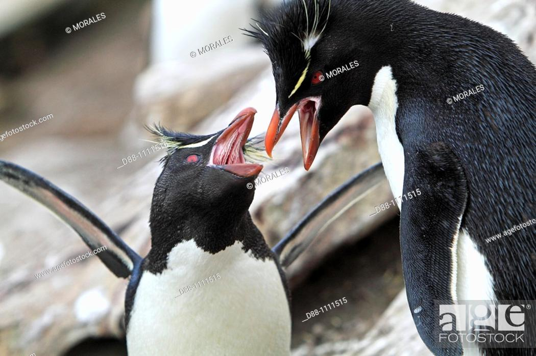 Stock Photo: Western Rockhopper Penguin (Eudyptes chrysocome chrysocome). Saunders island, Falkland Islands.