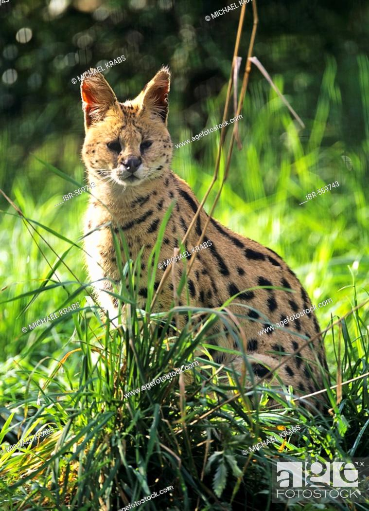 Serval, Leptailurus serval, Stock Photo, Picture And Rights