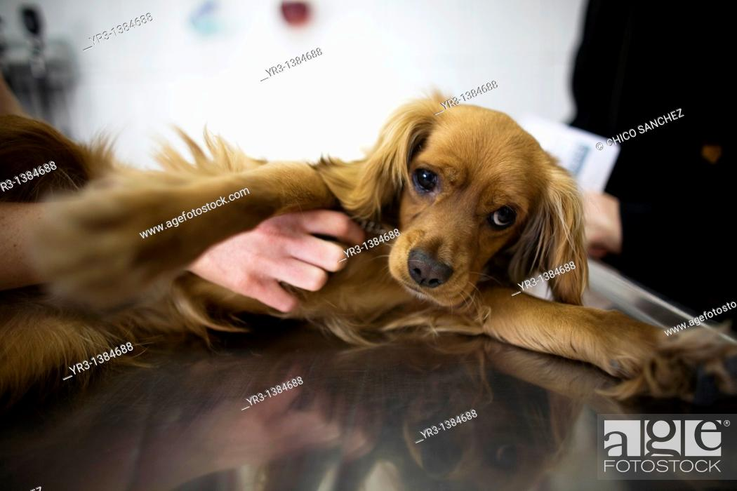 Stock Photo: A veterinarian scratches the belly of a dog at a Pet Hospital in Condesa, Mexico City, Mexico, January 24, 2011.