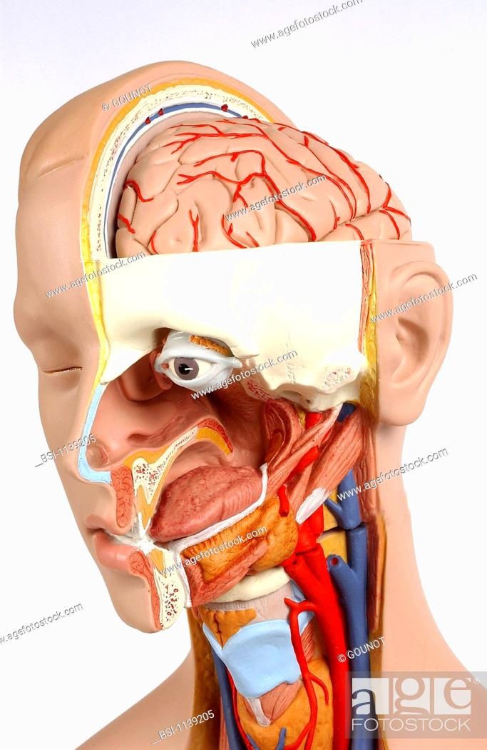Model showing the internal anatomy of an adult human head and neck ...