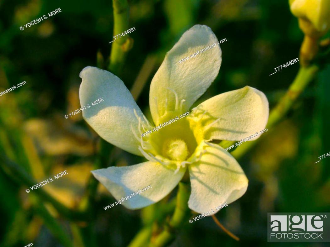 Nerium oleander calypso standard white flower kaner flowers stock photo nerium oleander calypso standard white flower kaner flowers pune mightylinksfo