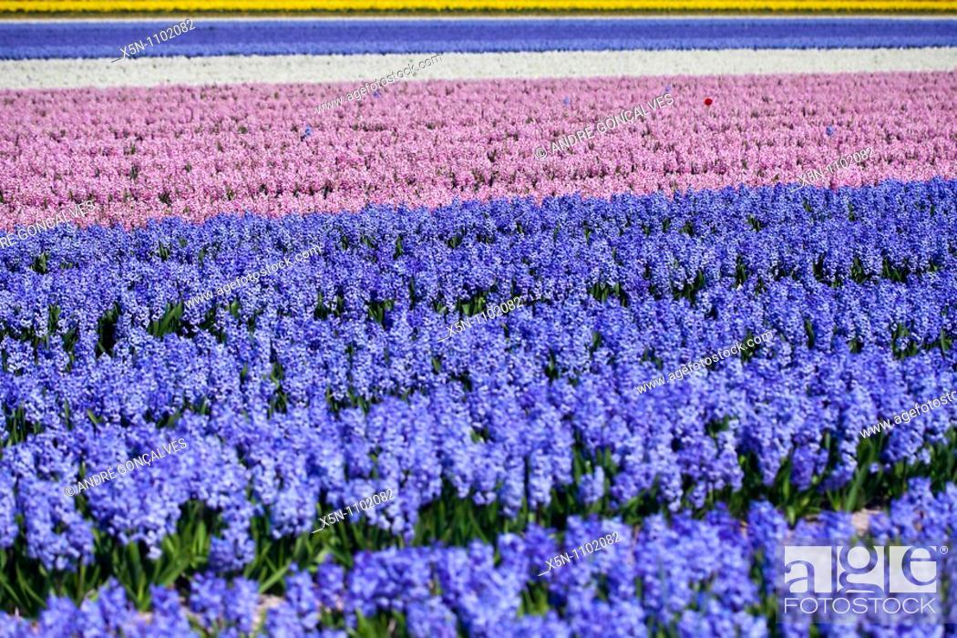 Stock Photo: Hyacinths Field, Netherlands.