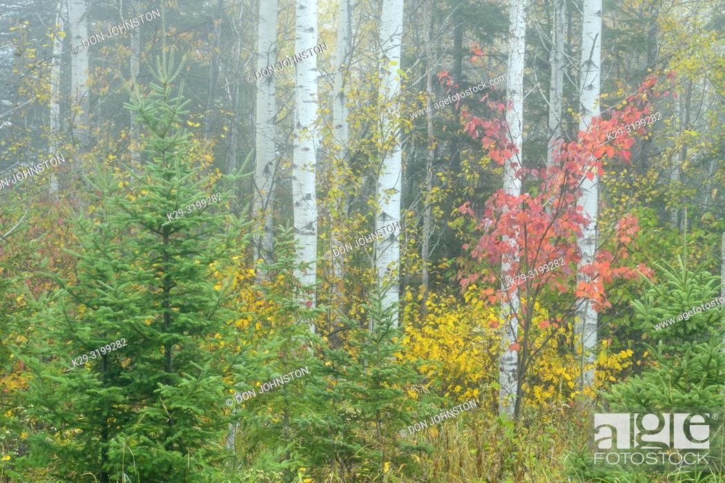 Stock Photo: Aspen tree trunks in autumn with understory red maple, Greater Sudbury, Ontario, Canada.