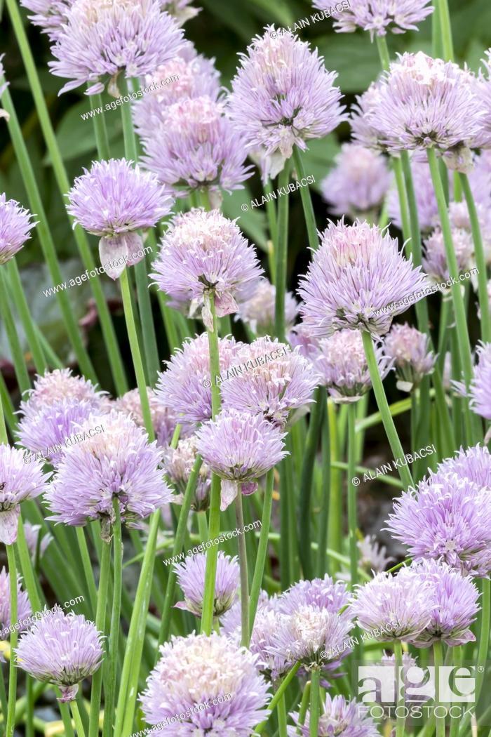Stock Photo: Cive / Allium schoenoprasum.