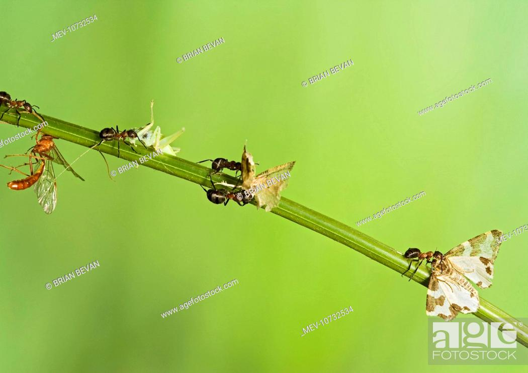 Stock Photo: Wood ants Ð carry dead insects (cricket, moth, etc) back to nest (Formica rufa).