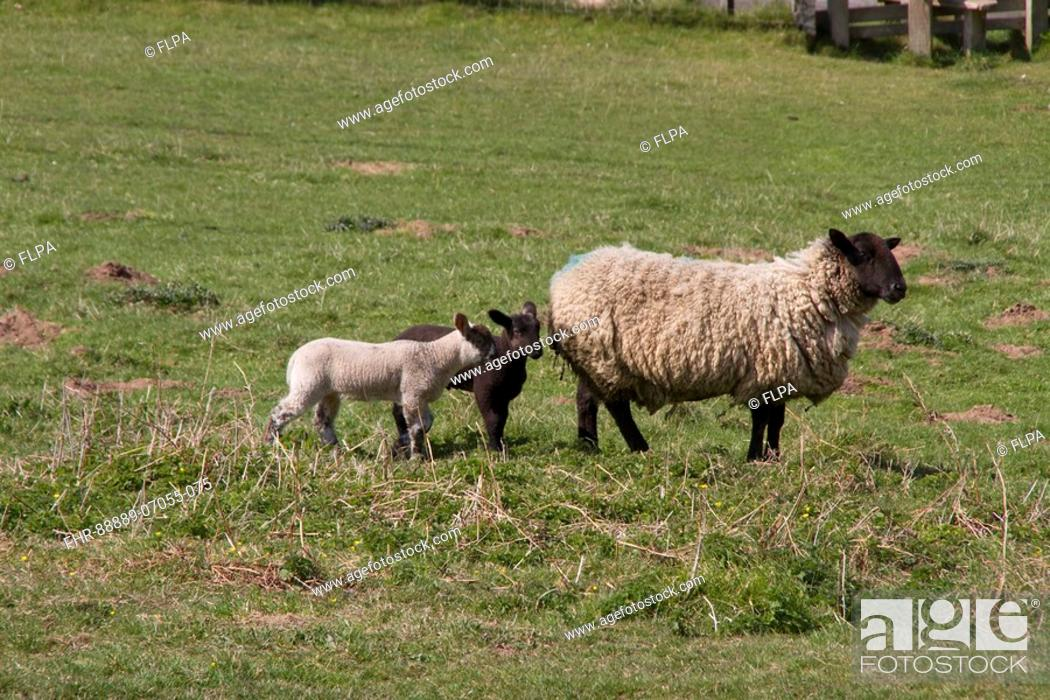 Suffolk cross breed ewe with two lambs, Stock Photo, Picture