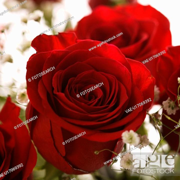 Stock Photo: Close-up of bouquet of red roses with baby's breath.