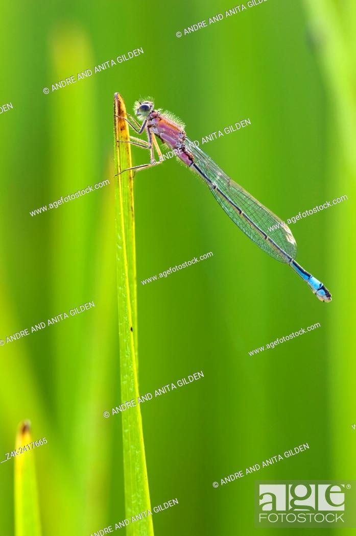 Imagen: Blue-tailed Damselfly (Ischnura elegans) on blade of grass.
