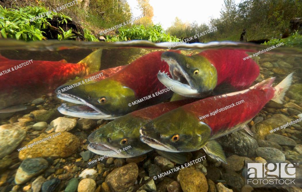 Sockeye Salmon (Oncorhynchus nerka) males competing for best