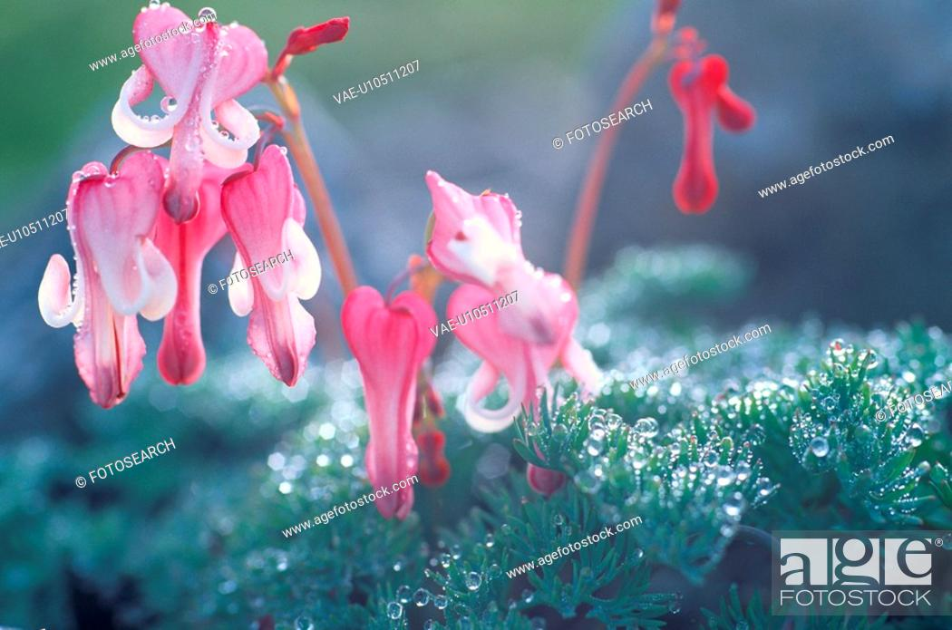 Stock Photo: Pink Flowers After Rain.