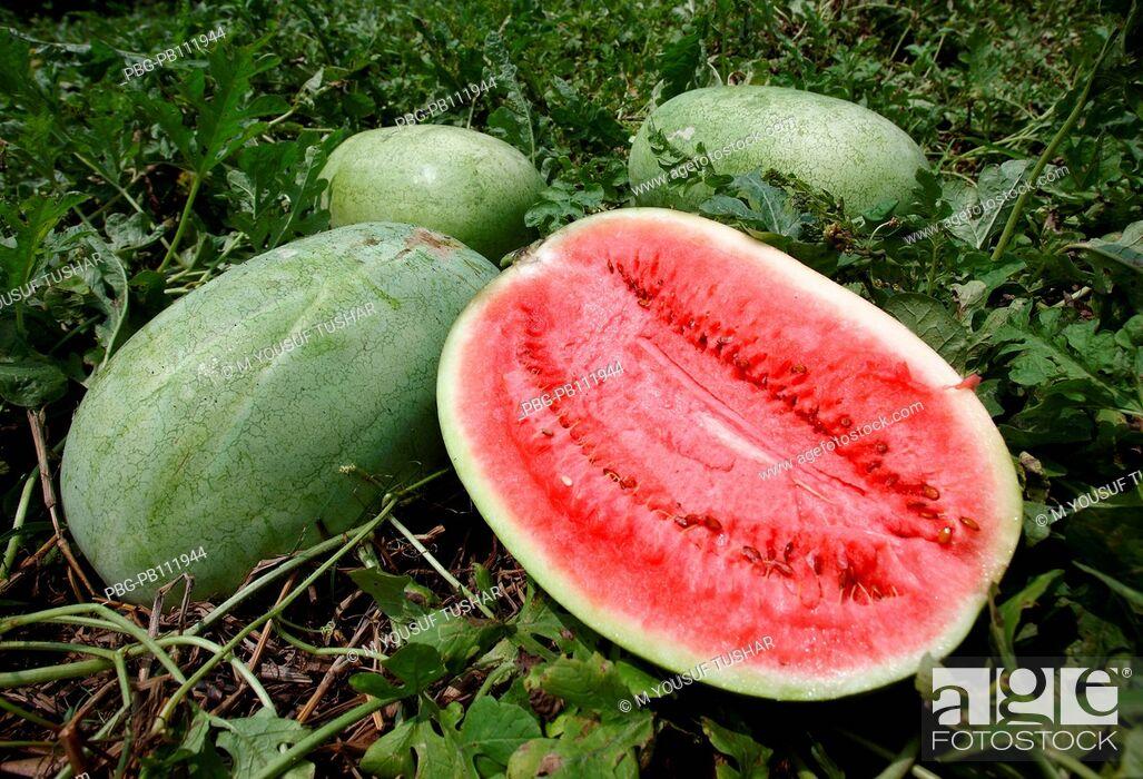 Imagen: watermelon field at Gopalgonj district of Bangladesh.